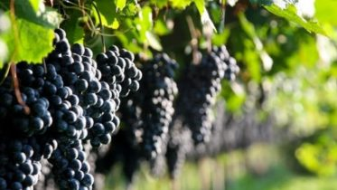 Report di Cribis sul settore vitivinicolo italiano